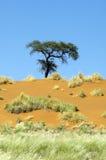 Osamotniony drzewo na pomarańczowej diunie w Namibia Fotografia Royalty Free