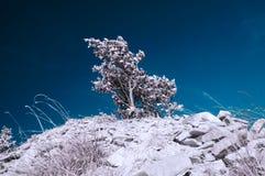 Osamotniony drzewo na skałach z niektóre trawami, infrared skutek obraz royalty free