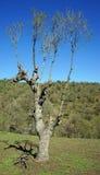 Osamotniony drzewo na trawie Obraz Royalty Free