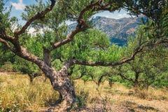 Osamotniony drzewo oliwne w Crete, Cretan ogród Fotografia Royalty Free