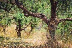 Osamotniony drzewo oliwne w Crete, Cretan ogród Zdjęcia Stock