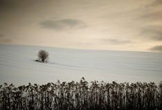 Osamotniony drzewo po środku śnieżnego pola. Zdjęcia Stock