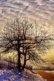 Osamotniony drzewo przy zmierzchem w winnicy Fotografia Stock