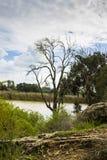 Osamotniony drzewo w Jeziornym Yakum, Izrael Obraz Royalty Free