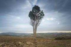 Osamotniony drzewo w Tuscany, Włochy zdjęcia royalty free