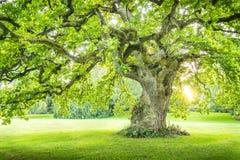 Osamotniony duży zielony drzewo z sunrays zmierzchu wschodu słońca vertical Obrazy Royalty Free