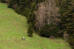 Osamotniony dziki koń w drewnie dziki koń na zielonym mountai Obrazy Royalty Free