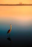 Osamotniony egret przy zmierzchem Obrazy Stock