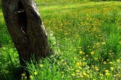 Osamotniony fiszorek w zielonej trawie acrpet dandelions i 2 zdjęcie royalty free