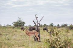 Osamotniony Impala otaczający wildebeest fotografia royalty free