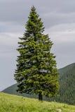 Osamotniony jedlinowy drzewo na krawędzi skłonu wewnątrz w górach Fotografia Royalty Free