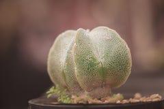 Osamotniony kaktus Obrazy Stock