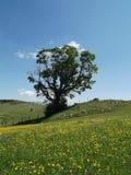 Osamotniony klonowy drzewo obrazy stock