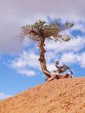 Osamotniony koślawy drzewo w Bryka jaru parku narodowym fotografia royalty free