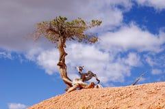 Osamotniony koślawy drzewo w Bryka jaru parku narodowym fotografia stock