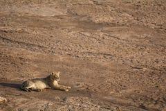 Osamotniony lew kłama w Afrykańskim słońcu Fotografia Royalty Free