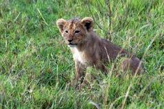 Osamotniony lwa lisiątko Zdjęcia Royalty Free