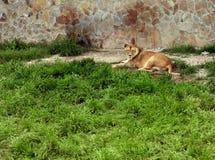 Osamotniony lwicy lying on the beach na trawie zdjęcie royalty free