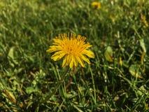 Osamotniony mały żółty dandelion w trawie zdjęcie stock