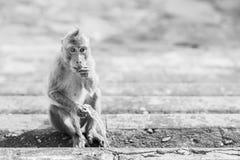 Osamotniony małpi waitng dla przyjaciela Obrazy Royalty Free