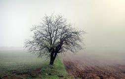 Osamotniony morelowy drzewo kwitnie wśród poly, mglisty ranek obraz stock