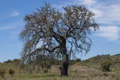 Osamotniony nieżywy drzewo Zdjęcie Royalty Free