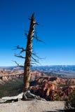 Osamotniony nieżywy drzewo Obrazy Royalty Free