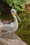 Osamotniony pelikan Zdjęcie Royalty Free
