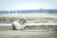 Osamotniony pies na łańcuchu Fotografia Royalty Free