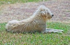 Osamotniony pies na trawie Fotografia Stock