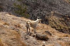 Osamotniony pies na wulkanie Rinjani, Lombok, Indonezja Zdjęcia Royalty Free