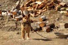 Osamotniony pies w łańcuchy Obrazy Royalty Free