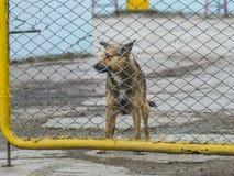 Osamotniony pies za płotowy patrzeć gdzieś Obraz Royalty Free