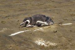 Osamotniony pingwin przy Plażowym Chubut Argentyna fotografia stock
