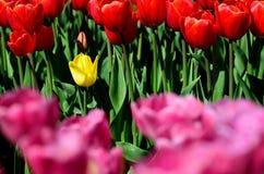 Osamotniony pojedynczy żółty tulipan Zdjęcia Royalty Free