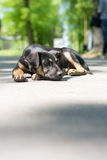 Osamotniony przybłąkanego psa lying on the beach w parku Zdjęcia Royalty Free
