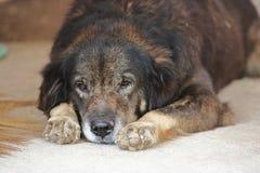 Osamotniony psi łgarski puszek na czekaniu dla jego właściciela i podłoga Zdjęcie Stock