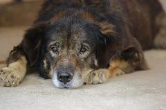 Osamotniony psi łgarski puszek na czekaniu dla jego właściciela i podłoga Zdjęcia Royalty Free