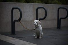 Osamotniony psi czekanie Fotografia Royalty Free
