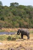 Osamotniony słoń na brzeg Mara rzeka w Masai Mara Kenja, Afryka Fotografia Royalty Free
