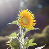 osamotniony słonecznik Fotografia Stock