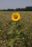 Osamotniony słonecznik Zdjęcia Stock