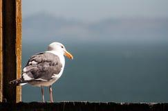 Osamotniony Seagull W Alcatraz Zdjęcia Stock
