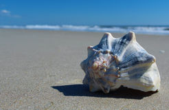 Osamotniony Shell Fotografia Royalty Free