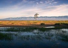 Osamotniony sosnowy pobliski jeziorny Baikal Zdjęcia Stock