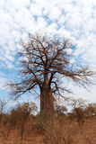 Osamotniony stary baobabu drzewo Obrazy Royalty Free