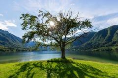 Osamotniony stary drzewo przy jeziornym Bohinj fotografia royalty free
