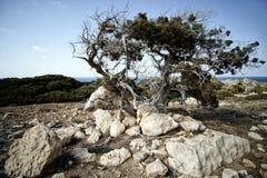Osamotniony suchy drzewo w Cypr Zdjęcie Royalty Free