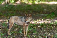 Osamotniony szary wilk spotykający w lesie fotografia royalty free