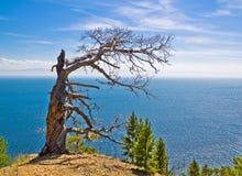 Osamotniony więdnący drzewo na górze nad morze pod niebieskim niebem zdjęcia royalty free